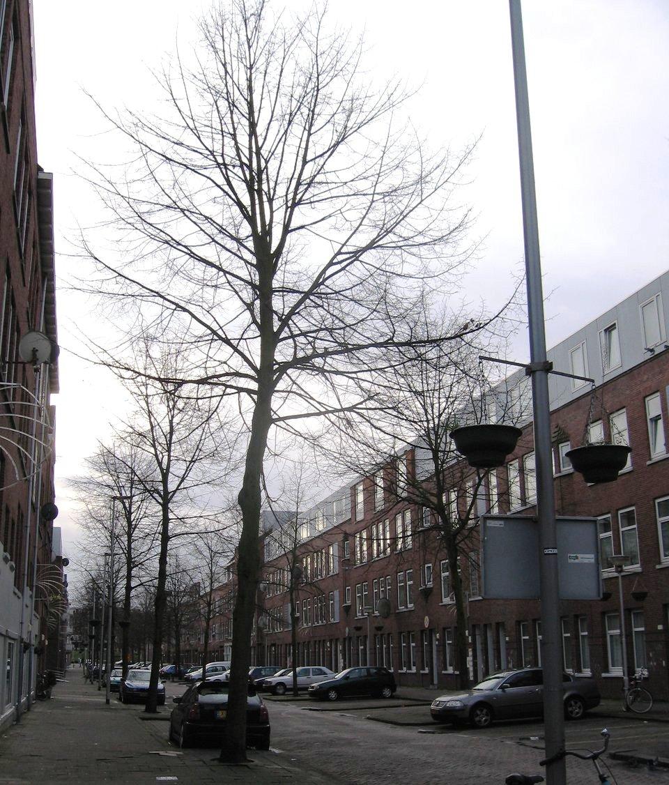 Linden_Van_Lennepstraat_dagelijks bestuur Delfshaven volhardt in kap van deze gezonde bomen stichting De Bomenridders Rotterdam