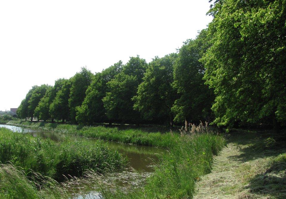 Geredde lindebomen aan de Zwarteweg, gemeente Berkel en Rodenrijs stichting De Bomenridders Rotterdam