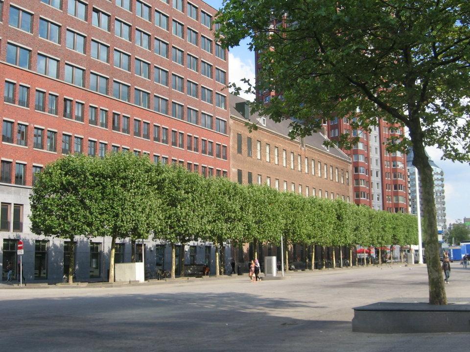 De bestaande, gezonde platanen Binnenrotte die mogelijk moeten wijken voor het herinrichtingsplan stichting De Bomenridders deelgemeente Rotterdam Centrum